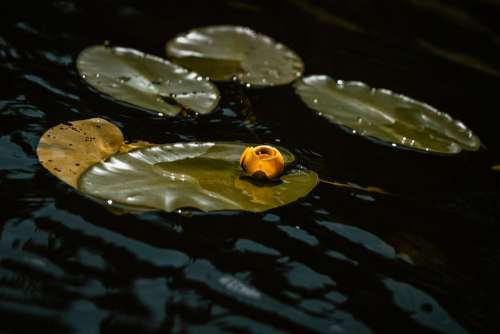Yellow Flower In Water Photo
