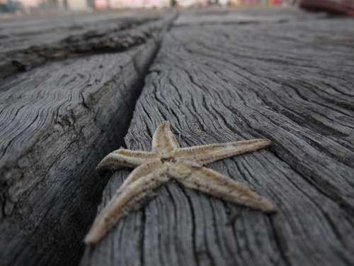 Starfish Echinoderm Marine invertebrates Wood Invertebrate