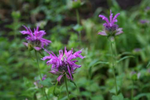 #flower-cluster monarda didyma bee balm flower purple flower