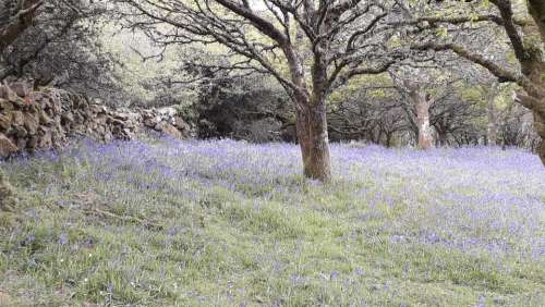 Hyacinthoides bluebell flower field nature