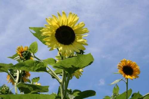 sunflowers sunflower garden sunflowers in a field