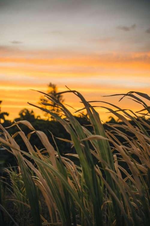 Meadows reeds sunset