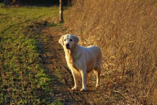 dog doggy retriever golden walk