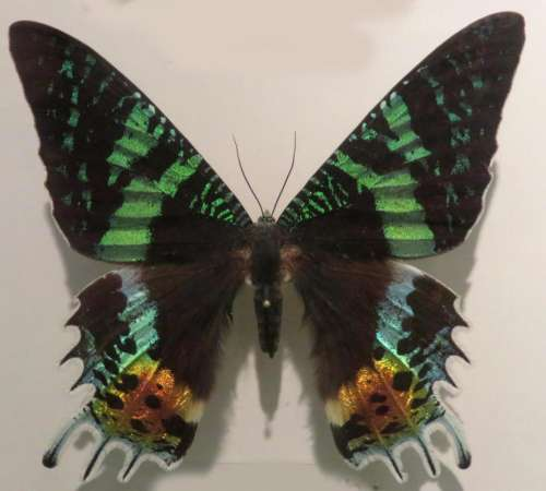 butterfly green black multicolor insect