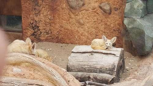 zoo animal fennec fennec fox fox