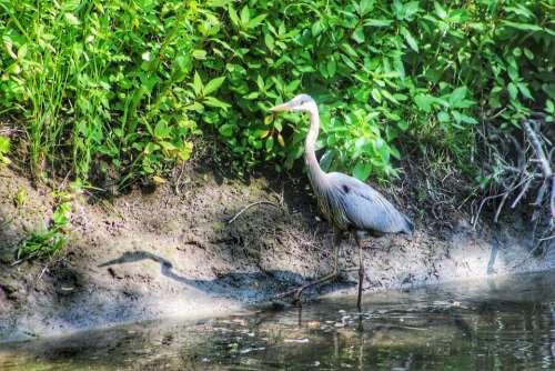 nature animal birds heron stalking