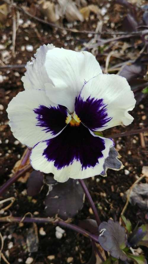flower plant nature pansies pansy