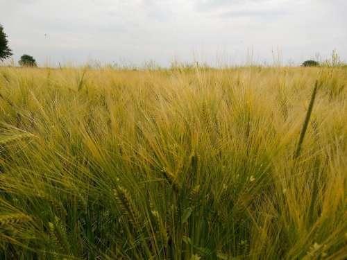 barley crop golden field harvest
