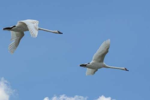 wing swan bird white beautiful