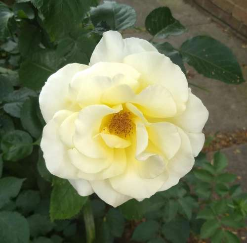perfect rose rose roses white rose perfection