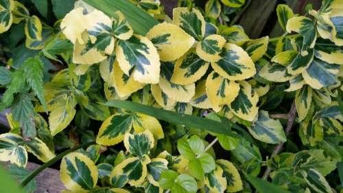Euyonimis shrub gardenmplants