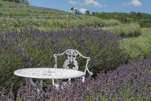 lavender purple bloom blossom garden