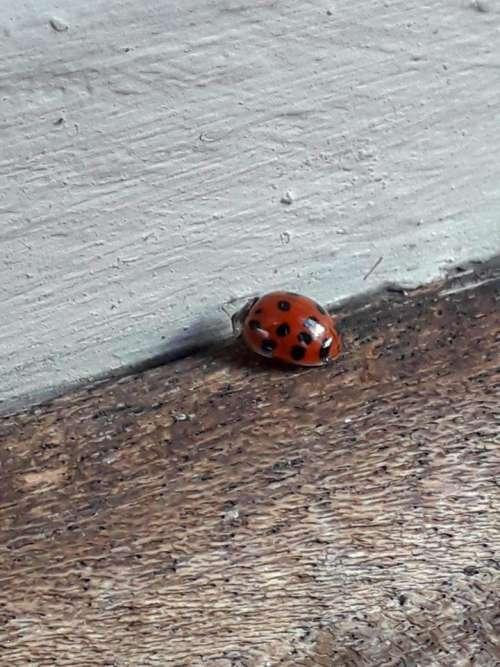 ladybug ladybird red beetle Coccinellidae