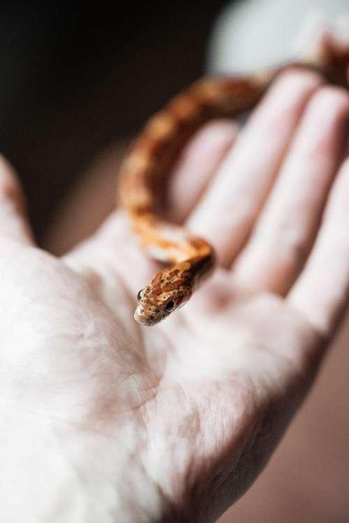 Little Corn Snake in Hand Free Photo