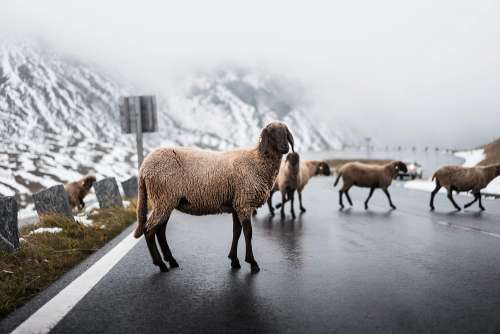 Sheep Walking on Grossglockner Road in Winter Free Photo