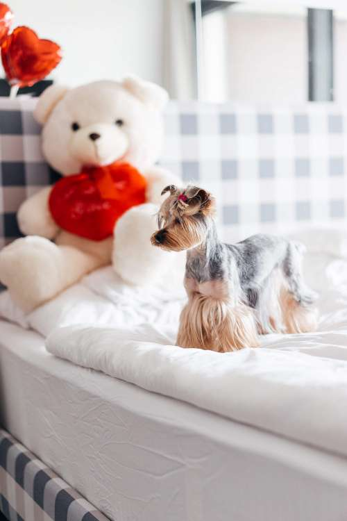 Yorkshire Terrier Standing on Bed Free Photo