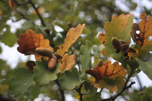 Acorn Leaves Fall