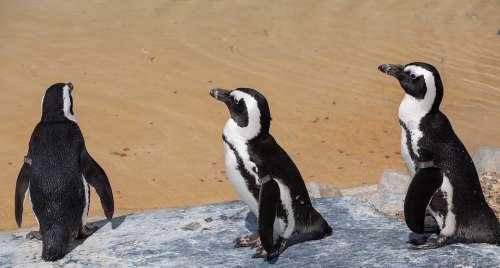 African Penguin Penguin Penguin On Beach