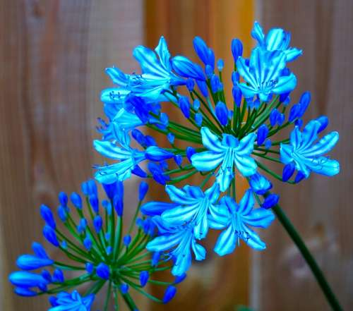 Agapanthus Blossom Bloom Blue Flower Nature Flora