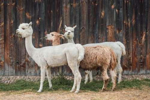 Alpaca Cottages-Vacation Rentals Wool Fur