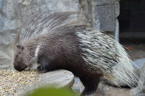 Animal Porcupine Zoo Eat Seeds Rodents Cute