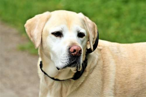Animal Dog Portrait Labrador Olles Dog Portraits