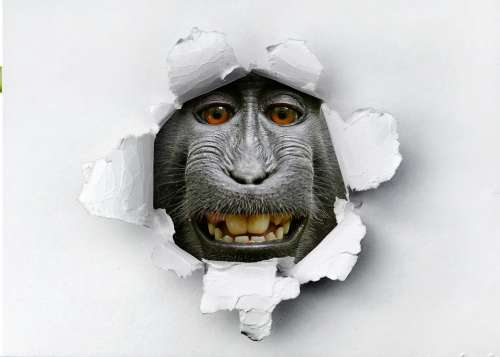 Animals Monkey Funny Portrait Nature Art