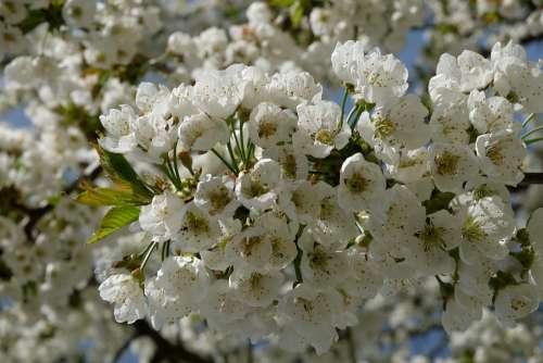 Apple Tree Branch Spring Flora Bloom Tender