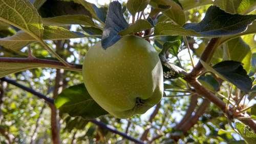 Apples Green Apples Apple Summer Garden Fruit