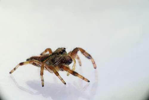 Arachnids Spider Spider Bouncing Salticidae
