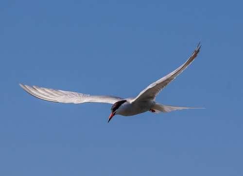 Arctic Tern Sea Swallow Sea Bird Fishing Bird