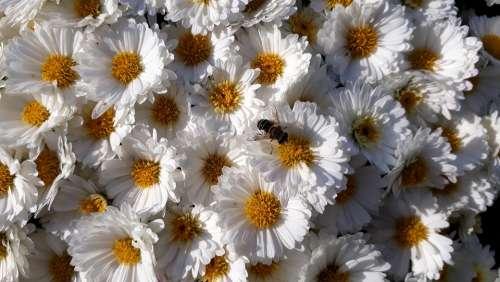 Asters Flowers White Garden Bee Stamens Flower