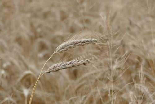 Barley Cereals Grain Cornfield Barley Field