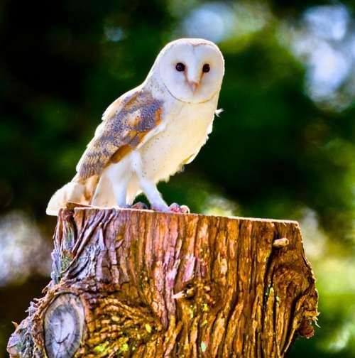Barn Owl Owl Nocturnal Nature Plumage Elegant