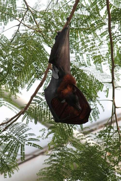 Bat Hanging Sleep Mammal Animal Trees High Top