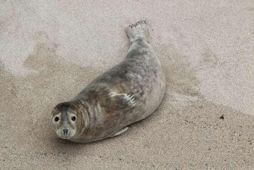Beach Cornwall Seal Animal