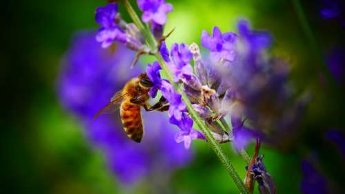 Bee Nature Honey Blossom Biology Color Beautiful