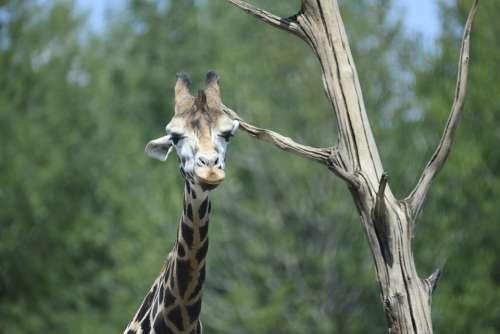 Beekse Bergen Giraffe Animals Stains Herbivorous