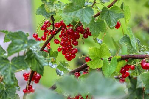 Berries Currants Food Eat Red Healthy Nature