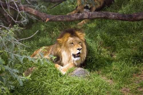 Big Cat Africa Predator Wildlife Carnivore Zoo
