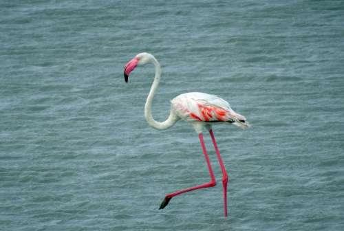 Bird Greater Flamingo Phoenicopterus Roseus Wildlife