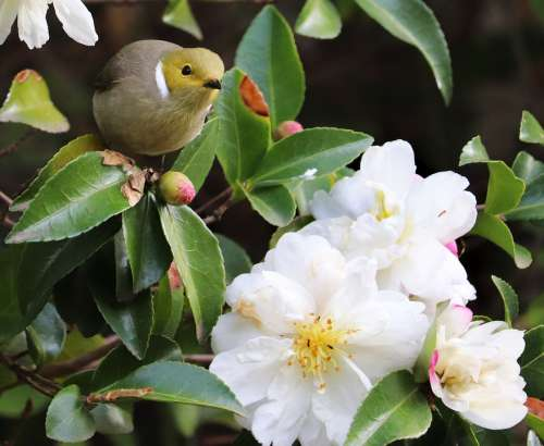 Bird Honeyeater Wildlife Flowers Camellia Garden