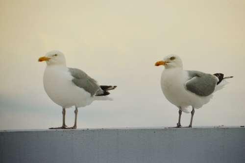 Bird Seagull Gull Wings Flight Freedom Sky Ocean