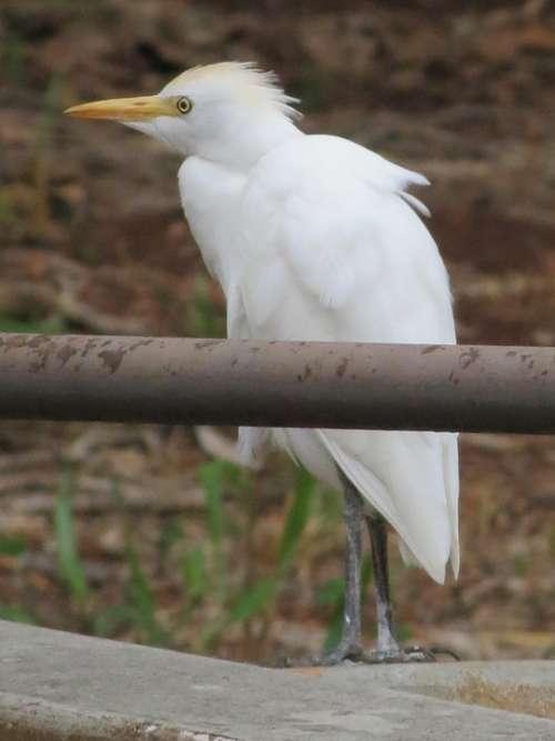 Bird Egret Hawaii