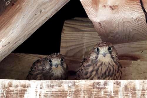 Bird Of Prey Falcon Raptor Young Falcons Nest