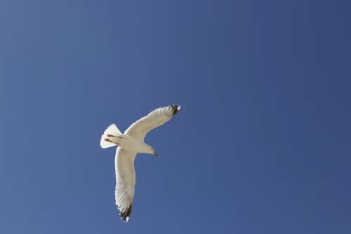 Black Headed Gull Seemoeve Gull Sky Water Bird Sea
