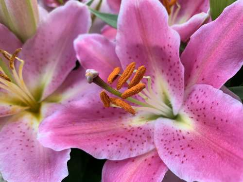 Blossom Bloom Flower Lily