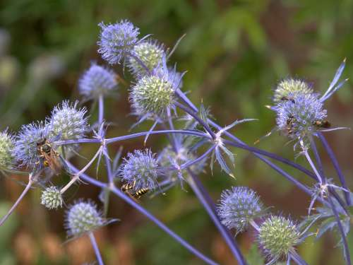 Blue Thistle Flower Summer Prickly Bug