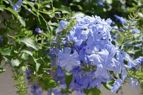 Blue Flowers Periwinkle Bloom Spring Nature
