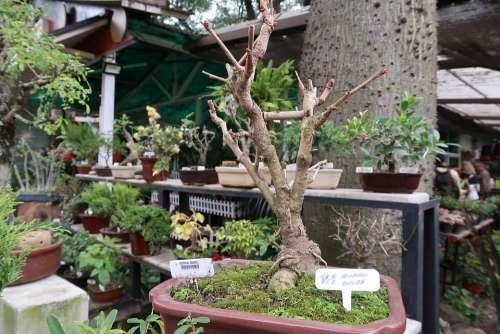 Bonsai Plant Tree Small Nature Art Botany Garden